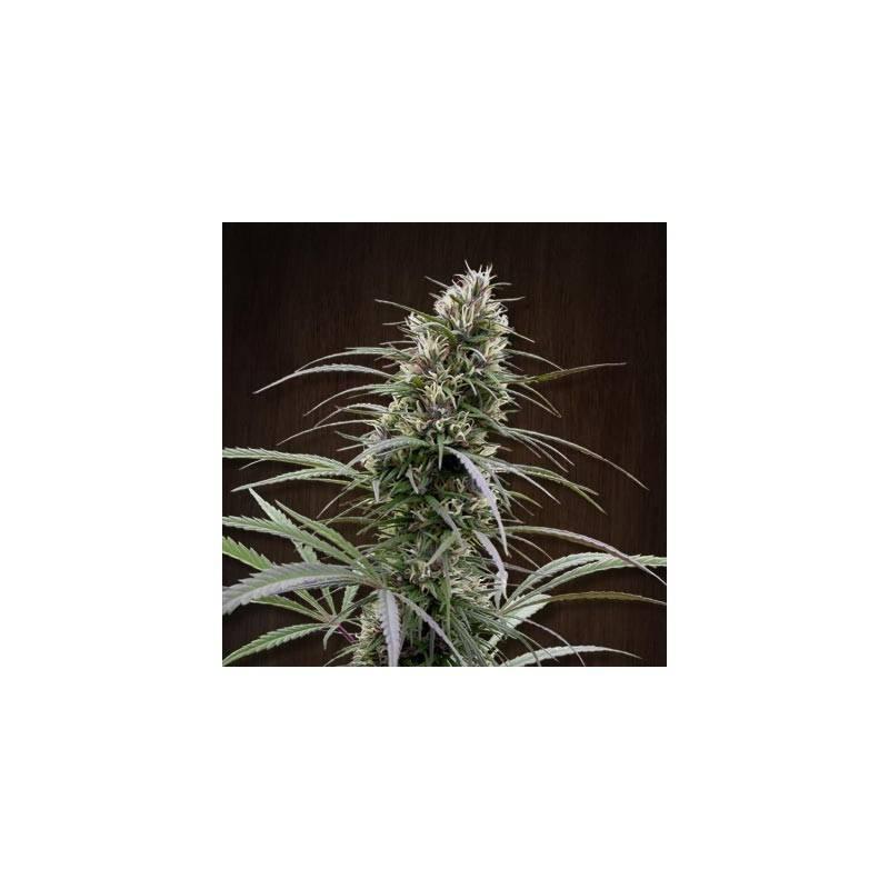 Orient Express · Ace Seeds · cannabis seeds · Fem