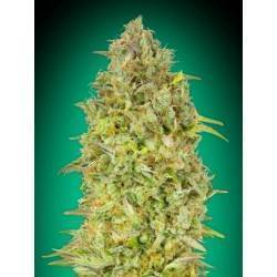 Skunk 47· Advanced Seeds ·...