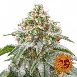 PINK KUSH · Barneys Farm ·...
