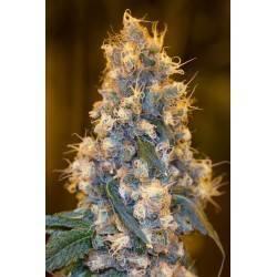 BLUE FIRE · Humboldt Seeds...