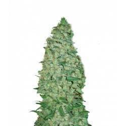 CALIFORNIA DREAM · cannabis...