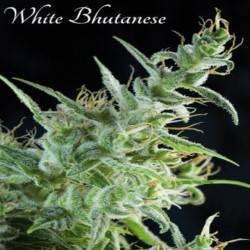 White Bhutanes - 3 ·...