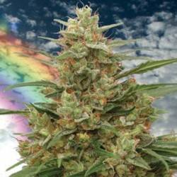 MANDALA I · cannabis samen...
