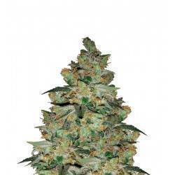 KALICHAKRA · cannabis samen...