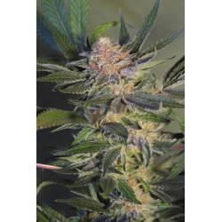 HASHBERRY · Mandala Seeds ·...