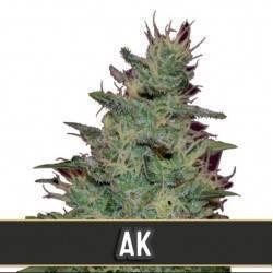 AK Auto · Blimburn Seeds