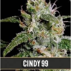 Cindy 99 · Blimburn Seeds