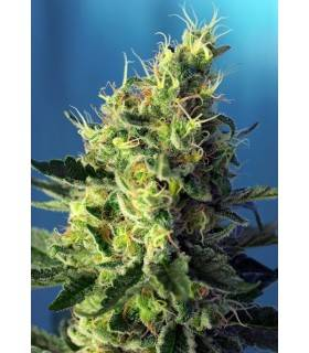 SWEET PURE AUTO CBD · Sweet...