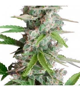 AUTO AK · Dr Green Seeds ·...