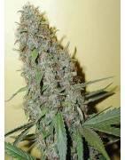 Graines Cannabis CHEESE