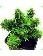 Graine Cannabis Autofloraison